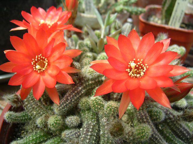 kaktus-dlya-uhoda-za-telom